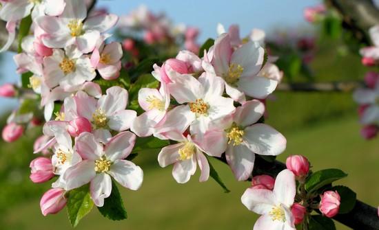 fleurs-de-pommiers